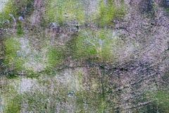 Mossig väggtexturewall royaltyfri bild