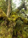 Mossiga skogCameron högländer Malaysia Arkivbild