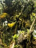 Mossiga skogCameron högländer Malaysia Royaltyfria Bilder