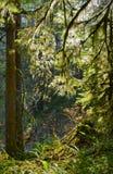 Mossiga trädfilialer som är upplysta vid solen royaltyfri fotografi