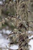 Mossigt träd Royaltyfria Bilder