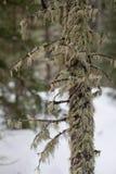 Mossigt träd Arkivbild