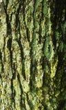 Mossigt träd 2 Royaltyfri Fotografi