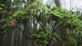 Mossigt träd för härlig blomning med att blomma blommor i Alishan nationellt sceniskt område i Taiwan i dimmig dag med ogenomskin arkivfilmer