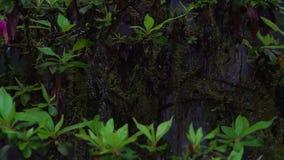 Mossigt träd för härlig blomning med att blomma blommor i Alishan nationellt sceniskt område i Taiwan i dimmig dag med ogenomskin lager videofilmer