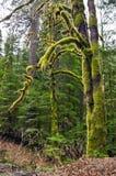 Mossigt träd i skog royaltyfri foto