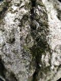 Mossigt trädskäll Arkivfoto