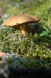 Mossiness mushroom Royalty Free Stock Photography