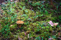 Mossiness mushroom Royalty Free Stock Images