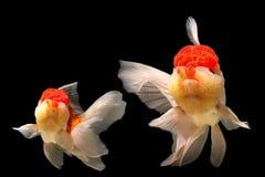 Mosso del pesce rosso Immagini Stock