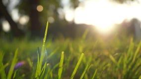 Mosso del prato dell'erba di estate di vento piacevole con luce solare luminosa, fondo soleggiato della molla stock footage