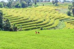 Mosso di romance senza fretta della passeggiata delle coppie nel giacimento del riso Immagini Stock Libere da Diritti