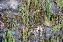 Mossor på anceintväggbakgrund Royaltyfria Foton
