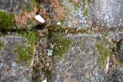 Mossor på anceintväggbakgrund Royaltyfria Bilder