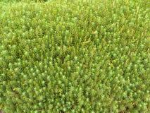 mosssphagnum Royaltyfri Fotografi