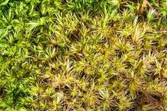 mosssphagnum Royaltyfria Foton