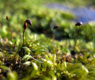 Mosssprouts Royalty Free Stock Photos