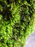 mossträ Royaltyfria Bilder