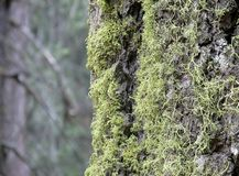 mossy δέντρο Στοκ Φωτογραφίες