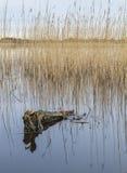 Mossy λίμνη σύνδεσης με τις αντανακλάσεις καλάμων Στοκ Εικόνες