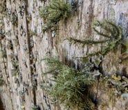 Mossy ανάπτυξη λειχήνων στον ξύλινο τοίχο σανίδων στοκ εικόνα