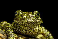 Mossy βάτραχος (Theloderma corticale) Στοκ Εικόνες