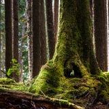Mossy κορμός δέντρων με μια τρύπα που μπορείτε να δείτε μέχρι τέλους στο τροπικό δάσος Hoh στοκ φωτογραφία με δικαίωμα ελεύθερης χρήσης