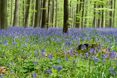 Mossy κολόβωμα δέντρων στο άνθισμα δασικό Hallerbos Βέλγιο Στοκ Εικόνες
