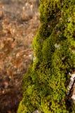Mossy δρύινος φλοιός Στοκ φωτογραφία με δικαίωμα ελεύθερης χρήσης