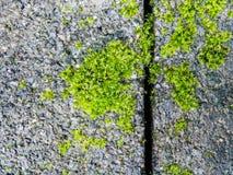 Mossy στο υπόβαθρο τούβλου Στοκ Εικόνες