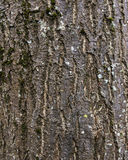 Mossy σύσταση φλοιών δέντρων Στοκ Φωτογραφίες