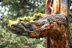 Mossy Arm. This was an interesting tree I found along one of the hiking trails at Yellowstone National Park. When this type of tree died it had so many colors Stock Photos