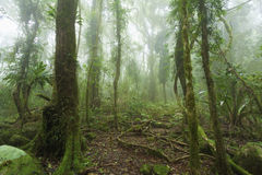 Mossy australian rainforest. Mossy, humid australian rainforest enveloped in clouds Stock Images