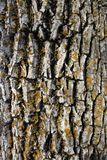 Mossy bark background. Wood texture: mossy bark of an old tree stock photo