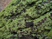 Poplar`s bark in moss. Mossy bark, covering the poplar Royalty Free Stock Photography