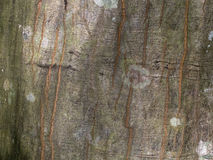 Mossy Bark of Tree Royalty Free Stock Photography