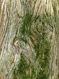 Mossy bark of a tropical deciduous tree Royalty Free Stock Photo