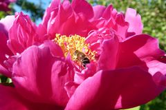 a bee among the delicate petals of a pink peony on a sunny summer day close-up an insect pollinates flowers and collects honey fro Royalty Free Stock Photography