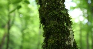 A tree overgrown with moss. A mossy big tree with greeny bushes on either side of the tree. Moss is a type of small flowerless plant, found in damp places stock video footage