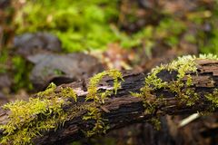 Mossy branch close up with a blurry forest floor in the background. stock photos