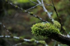Mossy Branch Royalty Free Stock Images