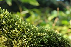 Mossy Branch Stock Photography
