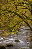 Mossy Branch Overhanging River in Smokies Royalty Free Stock Photo