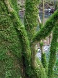 Mossy branches Stock Photography