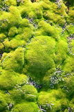 Mossy carpet. Fresh green mossy carpet nearby the forest Royalty Free Stock Image