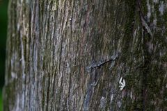 Mossy Cedar Tree Bark Reference. The bark from the trunk of a cedar tree, it is very rough Stock Photos