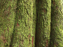 Mossy Cedar Tree trunk. An abstract composition of a moss covered cedar tree trunk stock images
