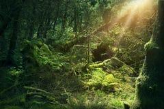Mossy wood in Ireland. Mossy dark wood in Ireland Stock Photos