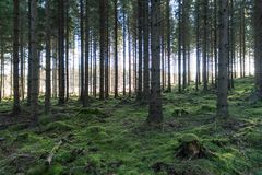 Mossy fairy forest. Green mossy fairy forest with spruce trees stock photography