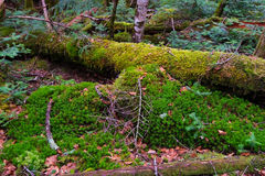 Mossy Fallen Tree Royalty Free Stock Photography